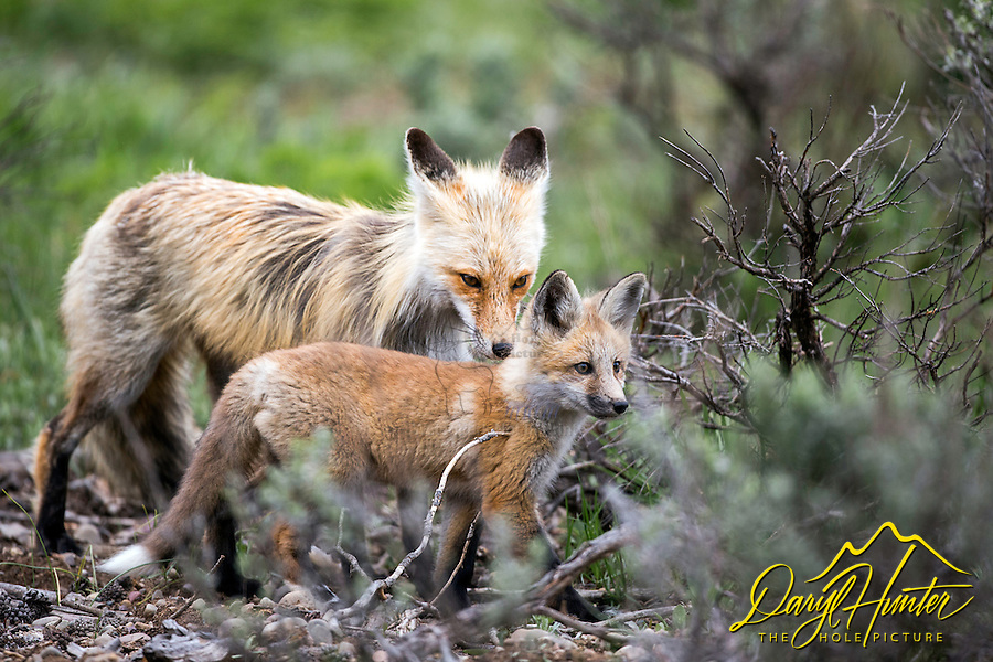 Fox vixen and her kit in Grand Teton National Park