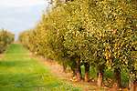 Pear orchards in Hood River, Oregon