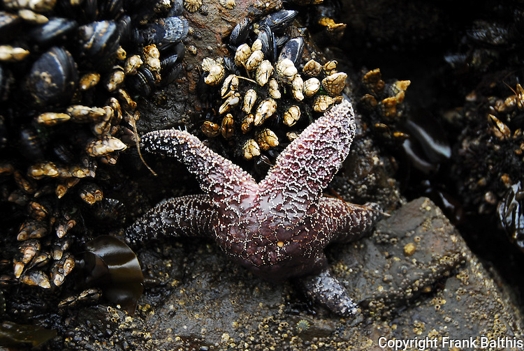 ochre star and barnacles/mussels