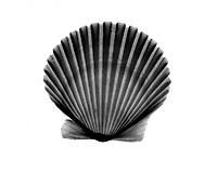 Xray scallop shell