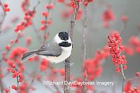 01299-031.18 Carolina Chickadee (Poecile carolinensis) in Common Winterberry (Ilex verticillata) in winter, Marion Co. IL