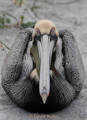0305-0884  Brown Pelican, Pelecanus occidentalis © David Kuhn/Dwight Kuhn Photography.
