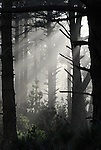 Forest and fog at Waddell Creek