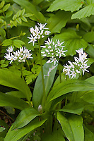 Bärlauch, Bär-Lauch, Allium ursinum, Ramsons, Wood Garlic, Wood-Garlic