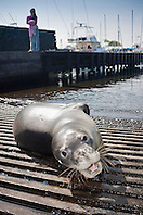 Hawaiian monk seal, Monachus schauinslandi, basking at boat ramp, young male, critically endangered, Honokohau Harbor, Kona Coast, Big Island, Hawaii, USA, Pacific Ocean, MR 090226-NU