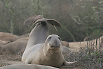 Northern elephant seal, juvenile bull