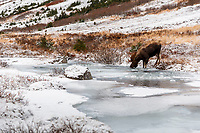 Bull moose drinking along South Fork of Campbell creek with Chugach Mountains in Chugach State Park. Glenn Alps area of Anchorage, Alaska   <br /> <br /> Photo by Jeff Schultz/SchultzPhoto.com  (C) 2016  ALL RIGHTS RESVERVED