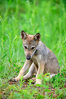 Gray wolf (Canis lupus), young animal sitting in Wiese, Pine County, Minnesota, USA, North America