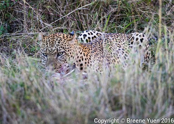 Leopard Feeding  Kenya 2015