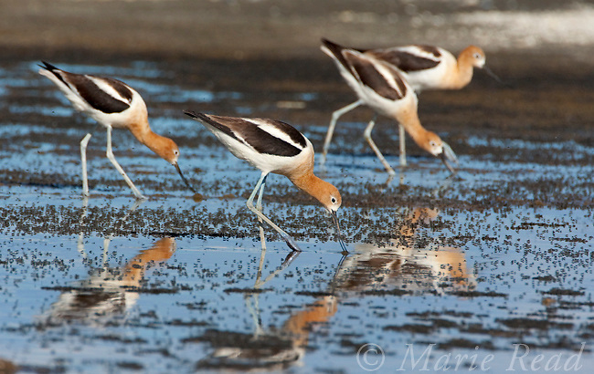 American Avocets (Recurvirostra americana), group foraging in shallow water amid Alkali Fly clumps on the shore of Mono Lake, California, USA
