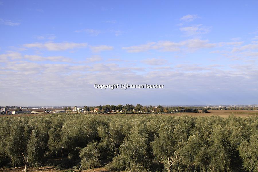 Israel, Shephelah, Olive grove by Kibbutz Hulda