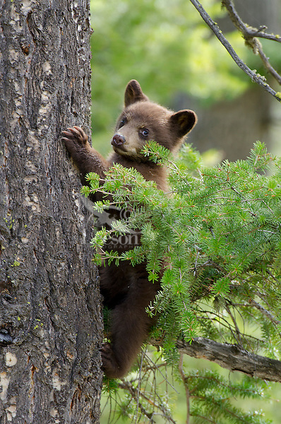 Wild Black Bear cub (cub will be brown or cinnamon color phase when it grows up).  Western U.S., Spring.  (This is a coy--cub of the year.)