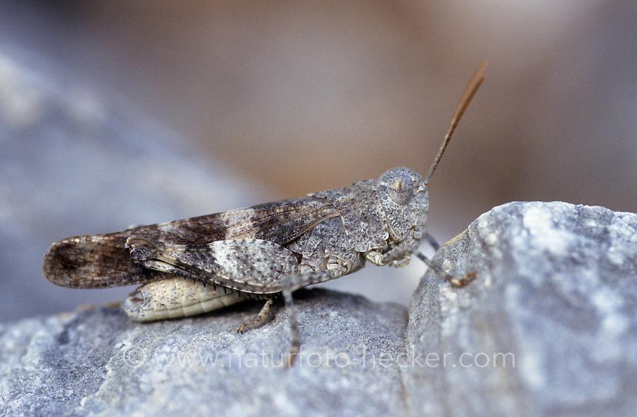 Rotflügelige Ödlandschrecke, Rotflüglige Ödlandschrecke, Männchen, Oedipoda germanica, Red-winged Grasshopper, red winged grasshopper, male