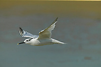 Sandwich Tern Sterna sandvicensis - Juvenile. L 41cm. Striking seabird with buoyant flight and distinctive call. Sexes are similar. Adult in summer has pale grey back and upperwings; dark, crested cap, and otherwise white plumage Legs are black and long, black bill is yellow-tipped. Looks very white in flight. Non-breeding plumage (seen from late summer onwards) is similar but forehead is white. Juvenile is similar to winter adult but back is barred and scaly. Voice Utters a harsh chee-urrick call. Status Locally common summer visitor and an early-returning migrant. Coastal, nesting on shingle beaches and islands.