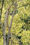 Eucalyptus Tree, Backlight Leaves, Sierra de Andujar Natural Park, Sierra Morena, Andalucia, Spain