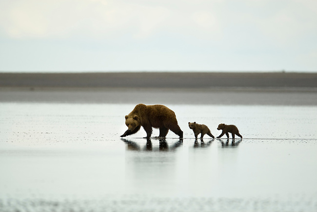 Brown bear mother and cubs on the tidal flats beach after digging clams, Lake Clark NP, AK.  Photo by Gus Curtis
