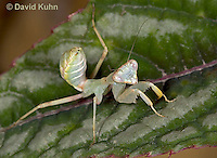 "0718-07tt  Wide armed mantis - Cilnia humeralis ""Nymph"" © David Kuhn/Dwight Kuhn Photography"