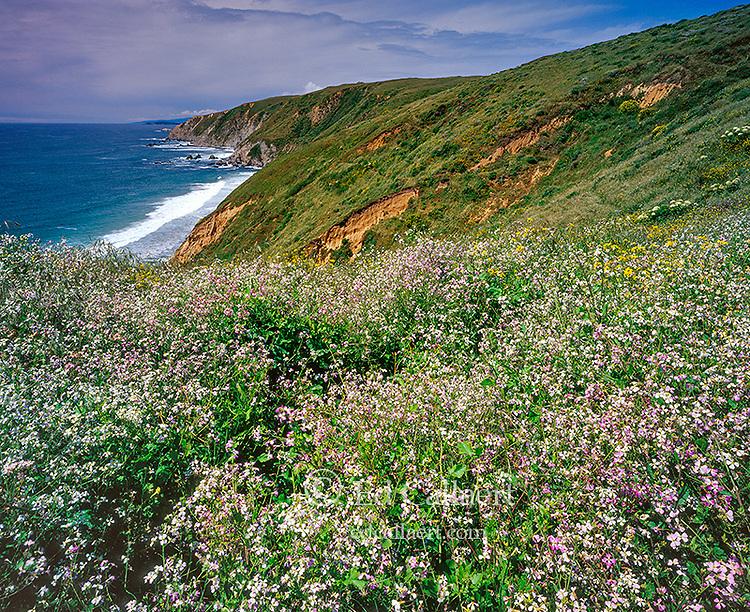 Wild Radish, Raphanus raphanistrum, Tomales Point, Point Reyes National Seashore, California, Marin County, California