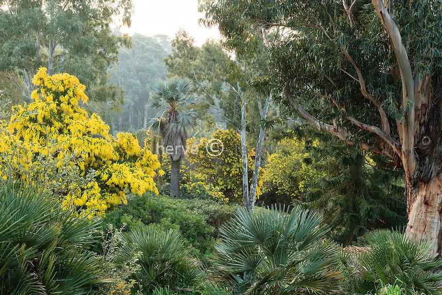 Le domaine du Rayol en février : Acacia dealbata 'Le Gaulois', eucalytus, derrière Washingtonia filifera...<br /> <br /> (mention obligatoire du nom du jardin & pas d'usage publicitaire sans autorisation préalable)
