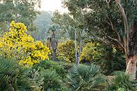 Le domaine du Rayol en f&eacute;vrier : Acacia dealbata &lsquo;Le Gaulois&rsquo;, eucalytus, derri&egrave;re Washingtonia filifera...<br /> <br /> (mention obligatoire du nom du jardin &amp; pas d'usage publicitaire sans autorisation pr&eacute;alable)