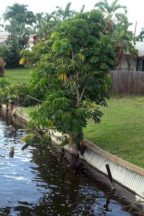 The Shefflerra tree is an Austrailian import that really likes Florida.  This tree is doing a really excellent job of destroying a seawall.