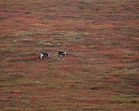 2 Caribou grazing in a field.