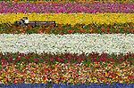 CARLSBAD, CA - MAY 5: A man leans in to kiss his girlfriend in the colorful rows of Flower Fields on May 5, 2005 in Carlsbad, California (Photo By Donald Miralle)