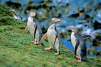 yellow-eyed penguins, Megadyptes antipodes, Enderby Island, New Zealand