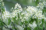 3514-CA Cumulus Shadblow, Flowers, Amelanchier laevis `Cumulus' @ Lyndale Garden Park, Minnesota.
