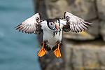 A puffin stuffs its beak full of fish and flies back to land.  The bird can be seen transporting the freshly caught sand eels back from sea in Scotland.<br /> <br /> It managed to carry five fish back to the breeding colonies at Dunnet Head, the most northerly point of mainland Britain, to feed young puffins.  SEE OUR COPY FOR DETAILS. <br /> <br /> Please byline: Ian Herd/Solent News<br /> <br /> © Ian Herd/Solent News & Photo Agency<br /> UK +44 (0) 2380 458800