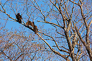 Turkey Vulture - Cathartes aura - in tree in the Crawford Notch State Park of the White Mountains, New Hampshire USA