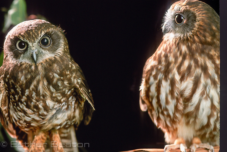 Two Southern Boobook Owls (Ninox novaeseelandiae) one lighter one darker. Found all over Australia.