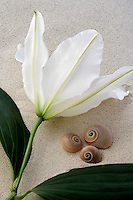 White Oriental Lily and snail sea shell.