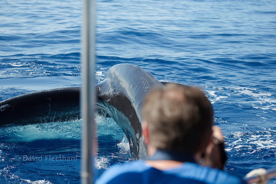 A photograher (MR) on a whale watching boat out of Lahaina, Maui, get a close up look at the tail of a humpback whale, Megaptera novaeangliae.  Hawaii.
