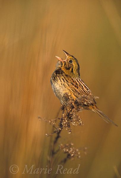 Henslow's Sparrow (Ammodramus henslowii), male singing, St. Clair County, Missouri. Endangered species.<br /> Slide # B164-1417