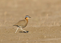 Indian Courser - Cursorius coromandelicus