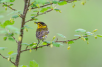 Male Cape May Warbler (Setophaga tigrina) in wild gooseberry bush.  Great Lakes Region.  May.