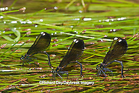 06014-003.07 Ebony Jewelwings Damselflies (Calopteryx maculata) females ovipositing  in stream, MO