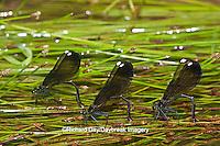 06014-003.07 Ebony Jewelwings Damselflies (Calopteryx maculata) females ovipositing  in stream, MO