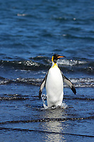King Penguin on Heard Island, Antarctica