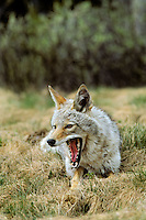 Coyote (Canis Latrans). Early spring. Yawning