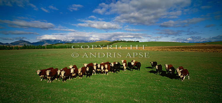 Cattle on green pasture near Te Anau. Southland Region. New Zealand.