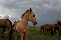 Wind blows through the main of a gangly young mustang foal as a summer storm builds on the North Dakota plains.