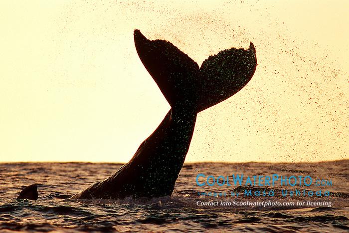 humpback whale lobtailing at sunset, Megaptera novaeangliae, Big Island, Hawaii, Pacific Ocean