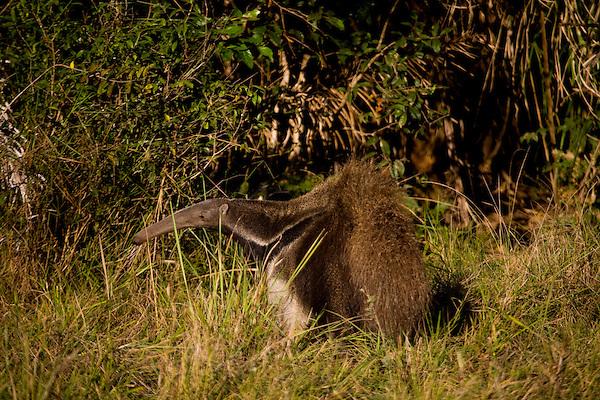 Aquidauana_MS, Brasil...Tamandua-bandeira (myrmecophaga tridactyla) no Pantanal...The Giant Anteaters (myrmecophaga tridactyla) in the Pantanal...Foto: JOAO MARCOS ROSA / NITRO