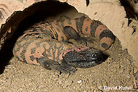 0617-1001  Banded Gila Monster Resting, Heloderma suspectum cinctum © David Kuhn/Dwight Kuhn Photography