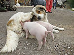 24.04.2010., Karlovac,Croatia - A three-year dog Kana raised two pigs Beti and Vilma. The dog was feed them and watch for months and half , and thanks to him they  survived.Darko Jovkovic wanted to feed pigs on the bottle but they did not want to accept..Foto: nph /  Andreja Thomas