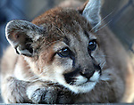 Daniel, a three-month old mountain lion cub, is the newest resident at the Animal Ark Wildlife Sanctuary in Reno, Nev., on Saturday, Oct. 21, 2011. Daniel was orphaned last week and is still adjusting to his new home. .Photo by Cathleen Allison