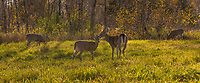 White-tailed deer in an autumn field.