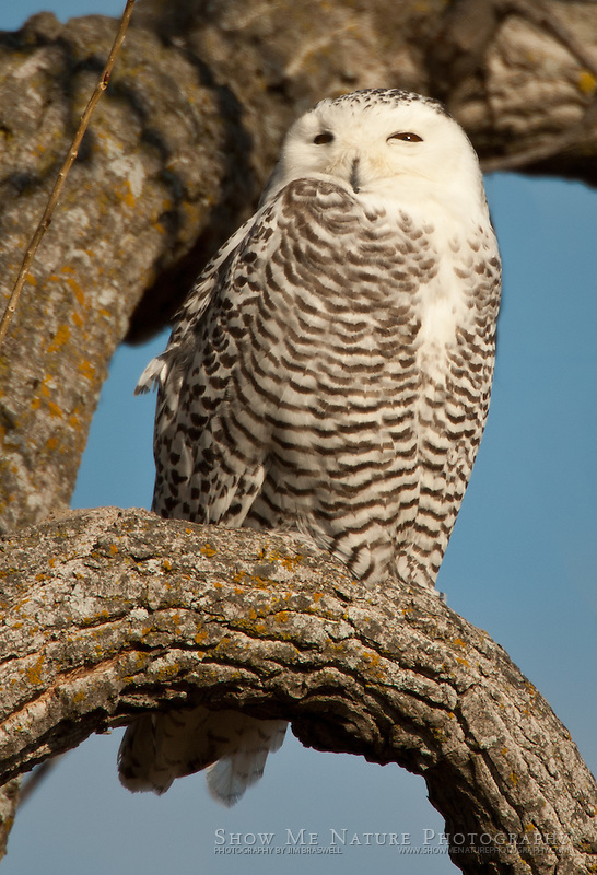 Photograph of a wintering snowy owl in Missouri